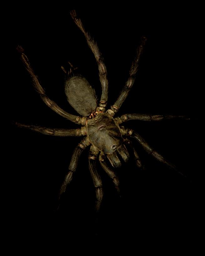 Gregory Elms. 'Thailand tarantula, Haplopelma Albostriatus' 2011
