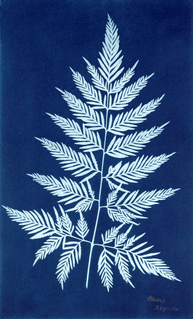 Anna Atkins, English (1799–1871). 'Paris Arguta' c. 1850