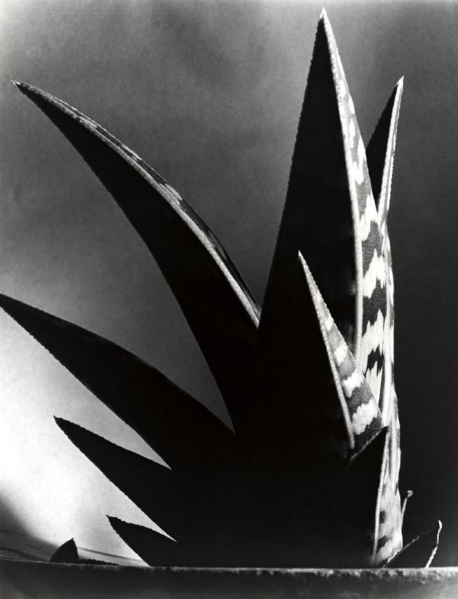 Imogen Cunningham.  'Aloe' 1925