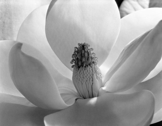 Imogen Cunningham. 'Magnolia Blossom' 1925