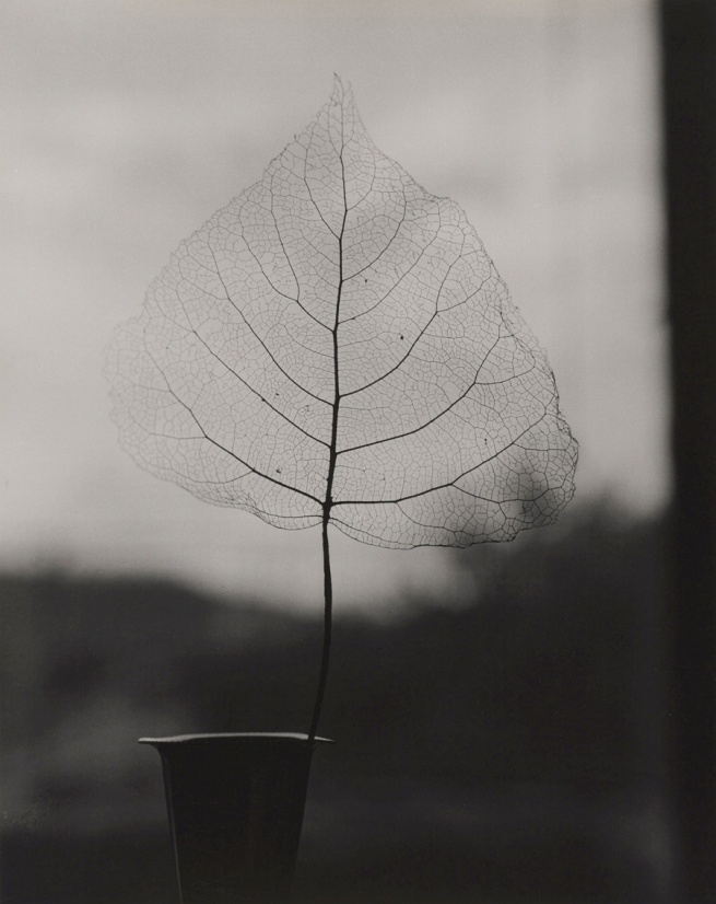 Olive Cotton. 'Skeleton Leaf' 1964
