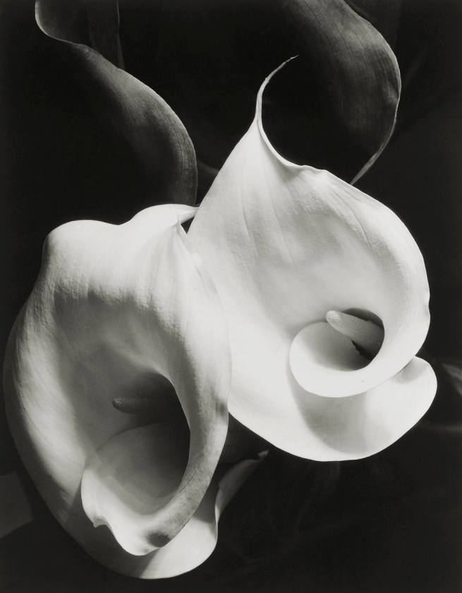 Imogen Cunningham. 'Two Callas' 1929