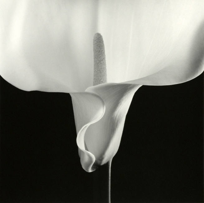 Robert Mapplethorpe. 'Calla Lily' Negative 1988; print 1990