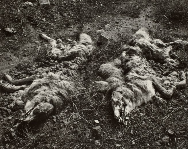 Frederick Sommer. 'Coyotes' 1941