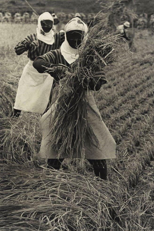 Hiroshi Hamaya (Japanese, 1915 - 1999) 'Rice Harvesting, Yamagata Prefecture' 1955