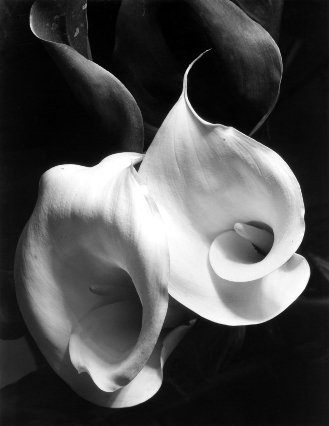Imogen Cunningham. 'Two Callas' c. 1925