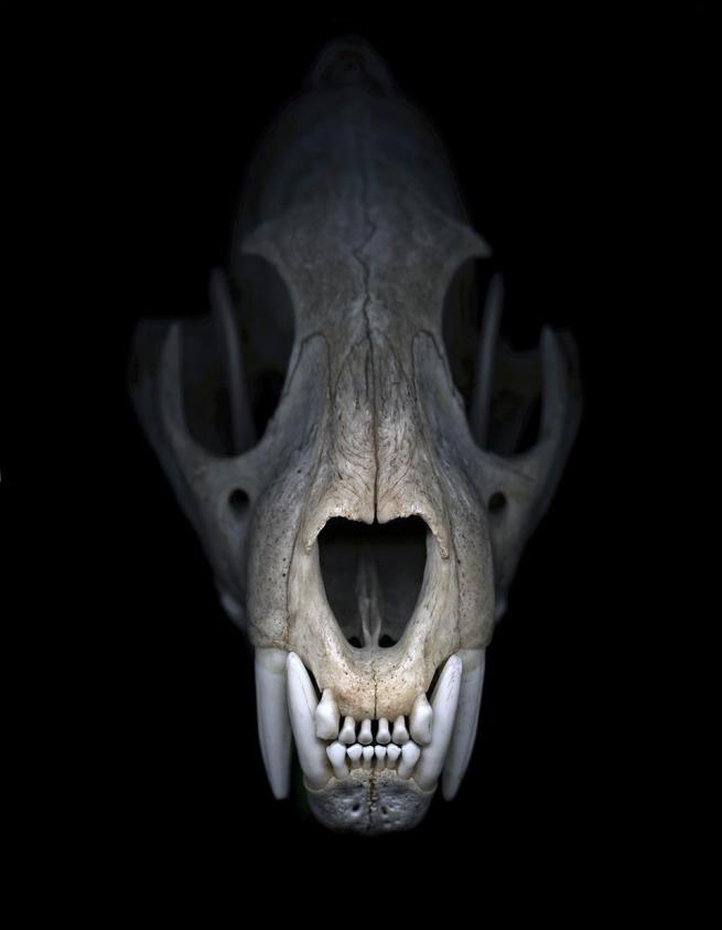 Greg Elms. 'We felt sort of helpless to stop the extinction (Cheetah skull)' 2012