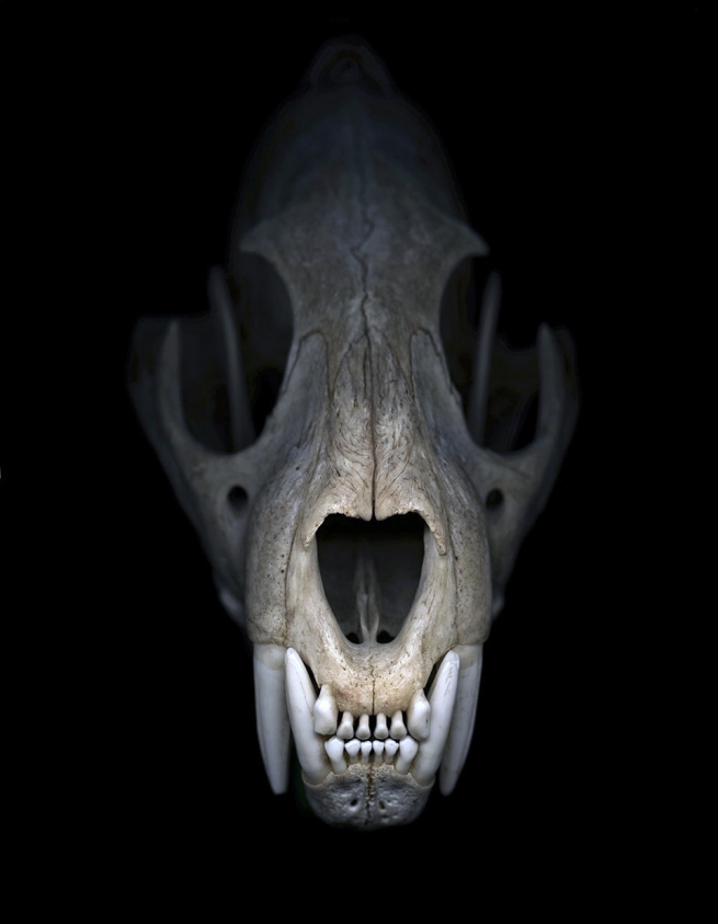 Greg Elms. 'We felt sort of helpless to stop the extinction (Cheetah skull)' 2012