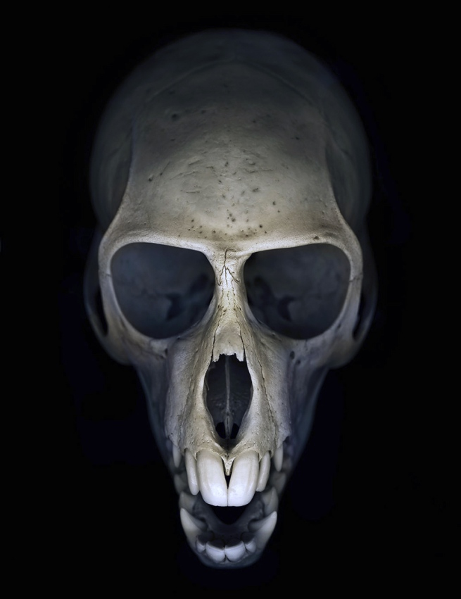 Greg Elms. 'You won't get away with this for much longer (Vervet monkey skull)' 2011