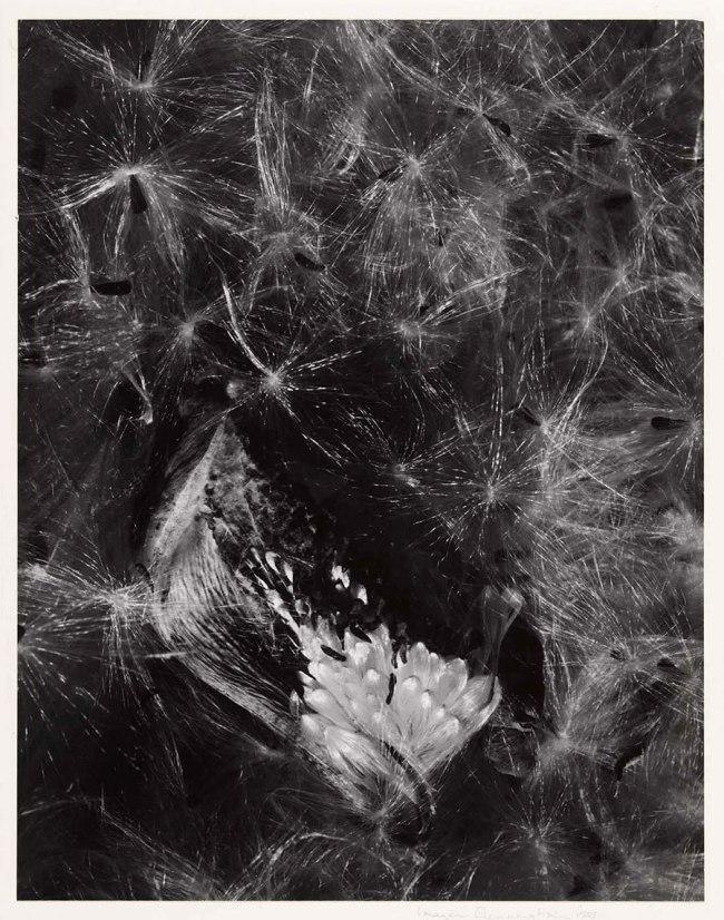 Imogen Cunningham. 'Auragia' 1953, printed c. 1960s