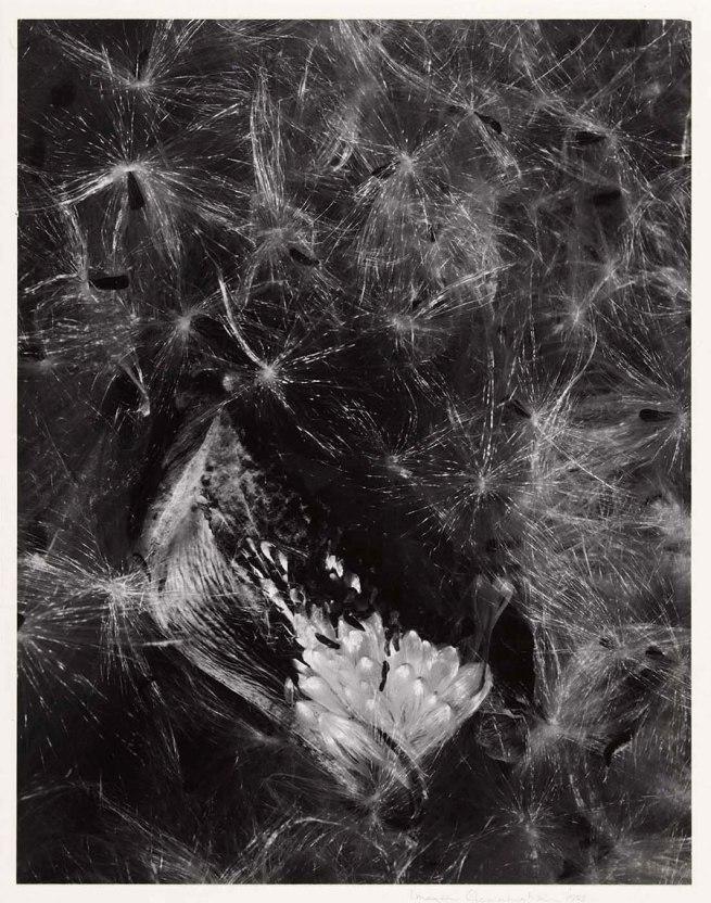 Imogen Cunningham (born Portland, OR 1883 - died San Francisco, CA 1976) 'Auragia' 1953, printed c. 1960s
