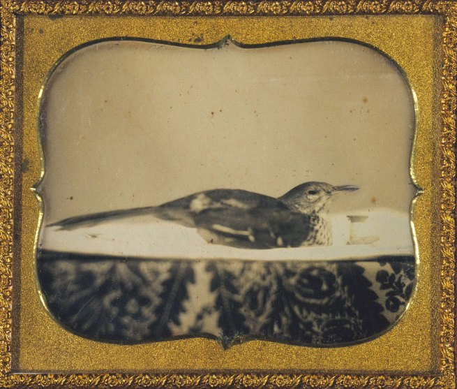 Unidentified artist. '[Bird in Basin with Thread Spool and Patterned Cloth]' c. 1855