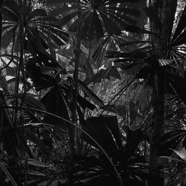 Claudia Terstappen. 'Cabbage trees (Queensland, Australia)' 2002