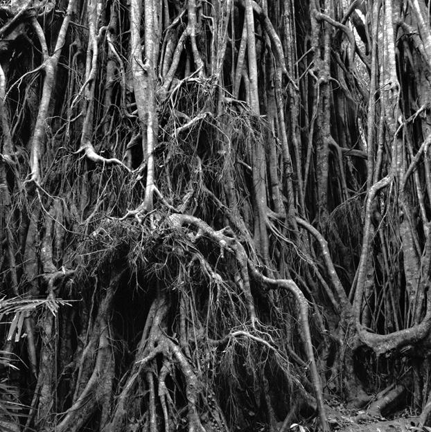 Claudia Terstappen. 'Curtain fig tree (Queensland, Australia)' 2002