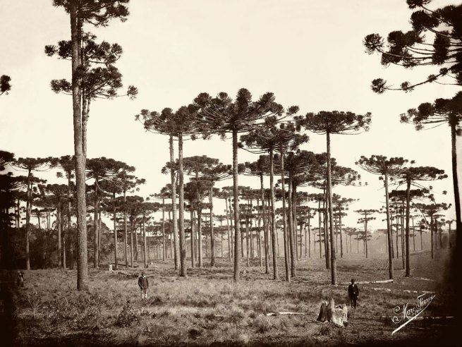 Marc Ferrez (Brazilian, 1843-1923) 'Araucárias, Paraná' c. 1884 (printed later)
