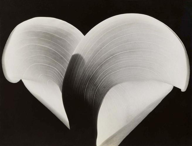 Sonya Noskowiak (born Leipzig, Germany 1900 - died Greenbrae, CA 1975) 'Calla Lily' c. 1930s