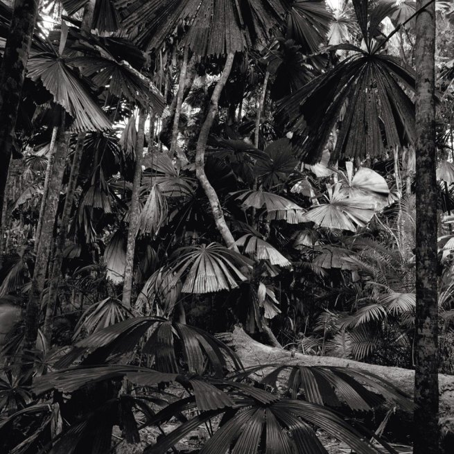 Claudia Terstappen. 'Cabbage trees (Queensland, Australia)' 2002