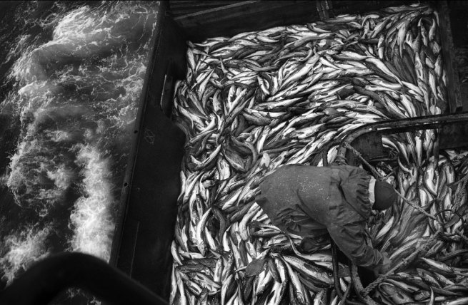 Oleg Klimov. 'Visser sorteert de vangst in het ruim. Ochotka Zee / Kamtsjatka' (Fisherman sorting the catch in the hold. Ochotka Sea / Kamchatka) Augustus 2007