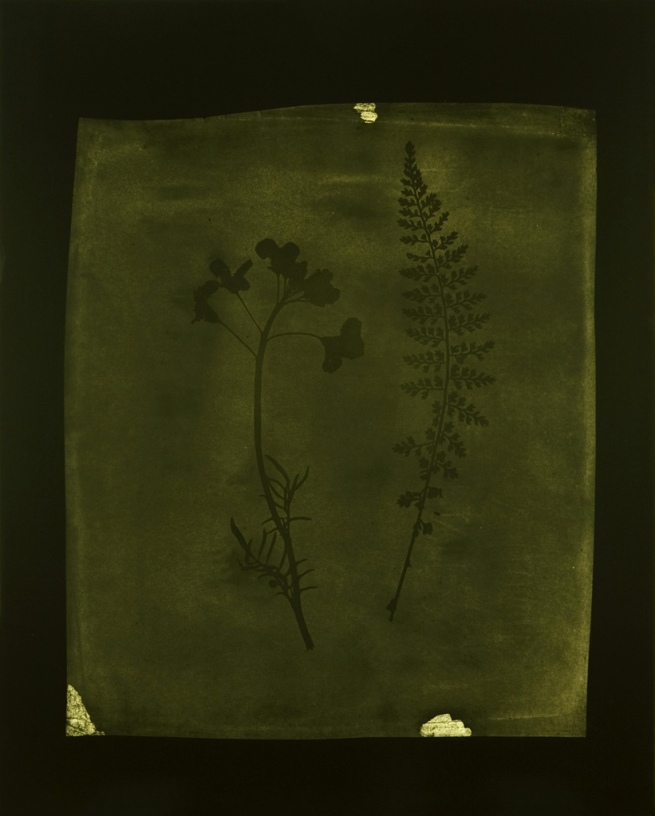 Hiroshi Sugimoto (Japanese, born 1948) 'Asplenium Halleri, Grande Chartreuse 1821 - Cardamine Pratensis, April 1839' 2008