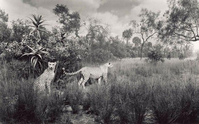 Hiroshi Sugimoto (Japanese, born 1948) 'Cheetah' 1980