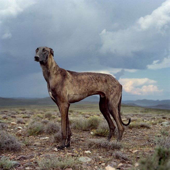 Daniel Naudé (1984 Cape Town) 'Africanis 23. Richmond, Northern Cape, 298 January 2009' 2009