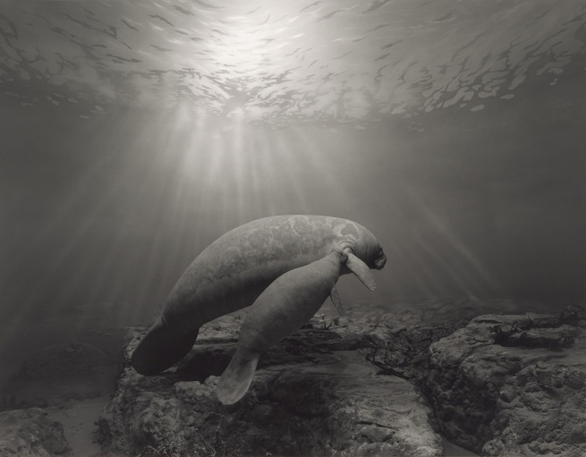 Hiroshi Sugimoto (Japanese, born 1948) 'Manatee' 1994