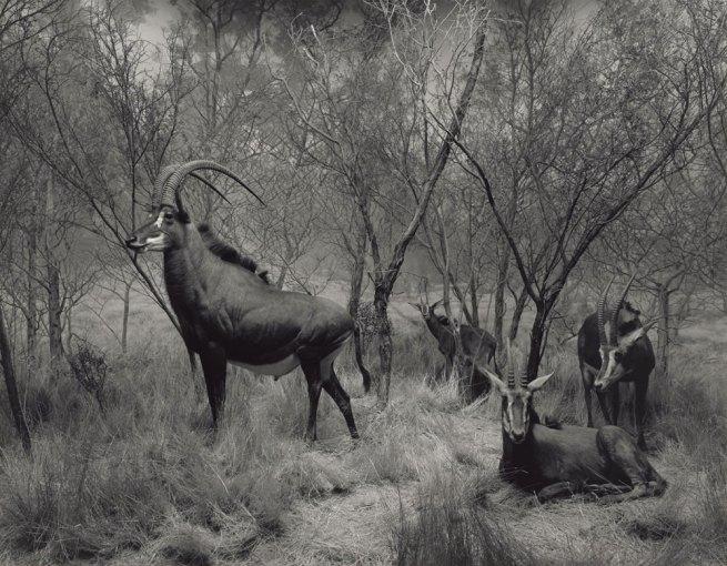 Hiroshi Sugimoto (Japanese, born 1948) 'Sable Antelope' 1994