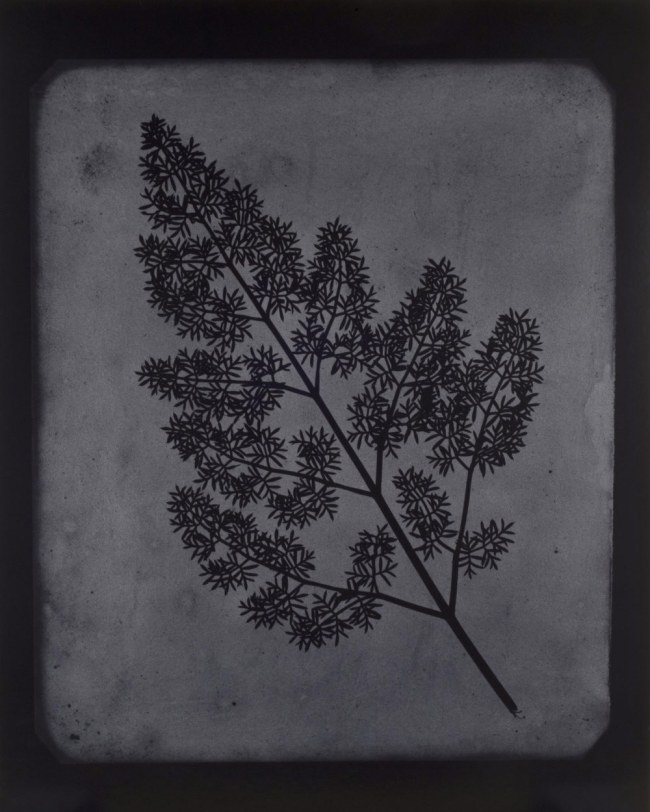 Hiroshi Sugimoto (Japanese, born 1948) 'A Stem of Delicate Leaves of an Umbrellifer, circa 1843-1846' 2009