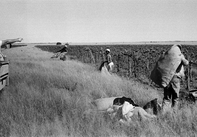 Santu Mofokeng (1956 Soweto) 'Sunflowers harvest, Vaalrand farm, Bloemhof' 1988
