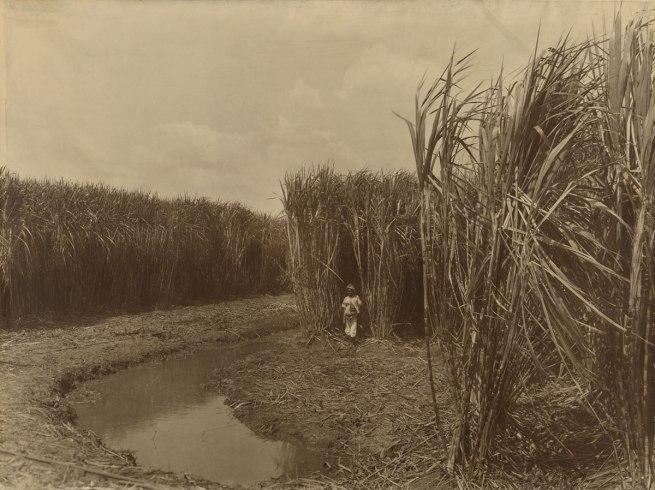 Dirk Huppe Indonesia 1867-1931 O Kurkdjian & Co Established Surabaya, Java 1903-1935 'Mature canes, fertilized with artificial guano Java Fertilizer Co.,' Semarang 1914