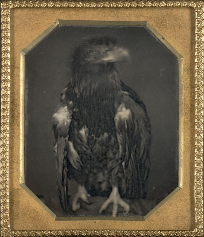 Unknown. 'Untitled (eagle facing left)' c. 1850