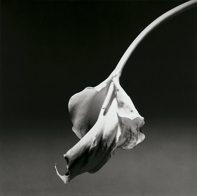 Robert Mapplethorpe. 'Calla Lily' 1986