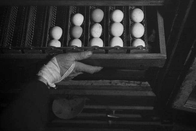 Roman Vishniac. '[Drawer of freshly farmed eggs, Gut Winkel, a training farm for German-Jewish youth hoping to emigrate to Palestine, Spreenhagen in der Mark, Brandenburg, Germany]' c. 1938