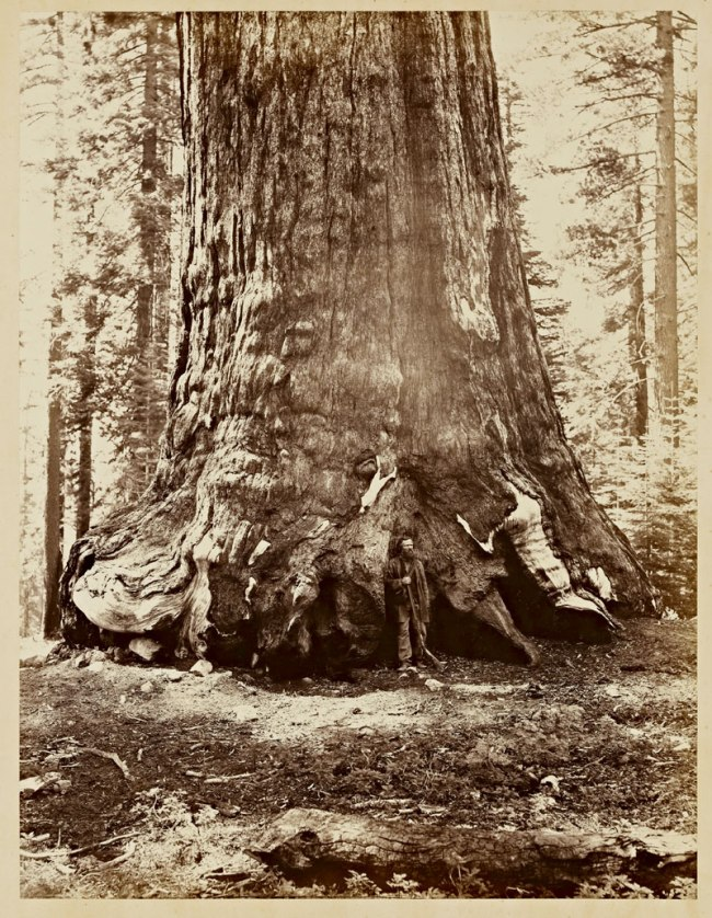 Carleton Watkins (U.S.A., 1829-1916) 'Section of the Grizzly Giant, 33 ft. diameter' 1865-1866