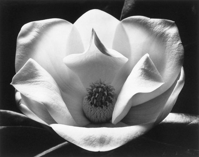 Max Dupain. 'The magnolia' 1983