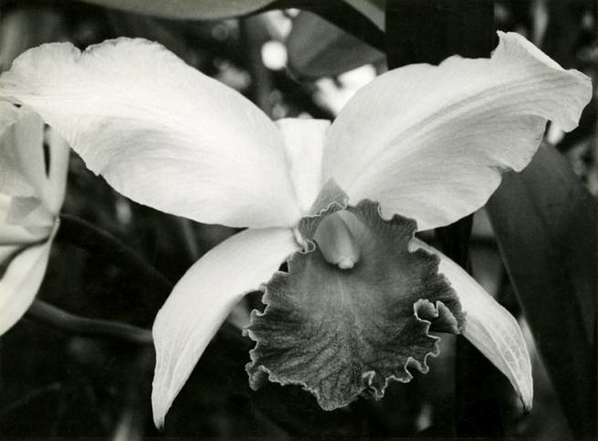 Albert Renger-Patzsch (1897-1966) 'Tropical Orchis, cattleya labiata' c. 1930