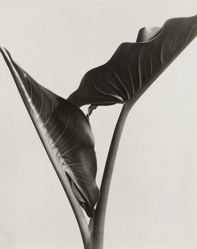 Imogen Cunningham (American, 1883-1976) 'Cala Leaves' 1932