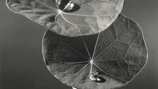 Max Dupain 'Nasturtium leaves' 1981