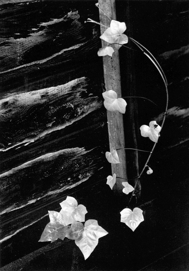 Minor White. 'Ivy, Portland, Oregon' Negative,1964; print, 1975