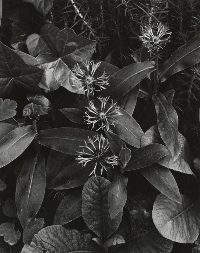 Paul Strand. 'Bachelor Buttons, Orgeval' early 1960s