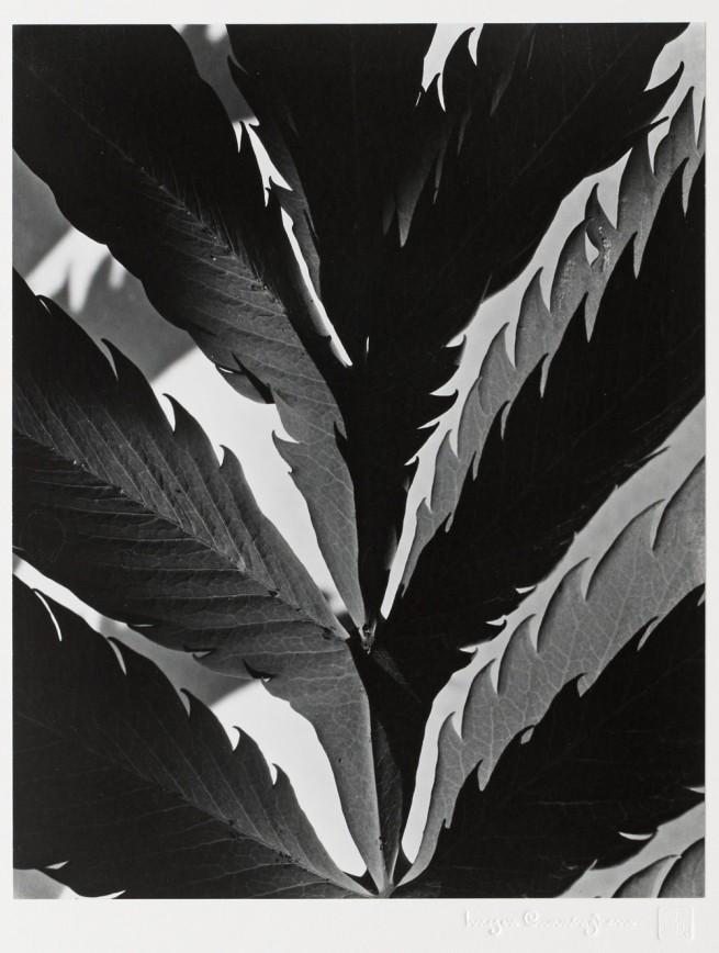 Imogen Cunningham. 'Leaf pattern' c. 1929; printed 1979