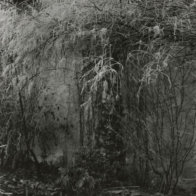 Paul Strand. 'Hoar Frosted Vines, Orgeval' 1969