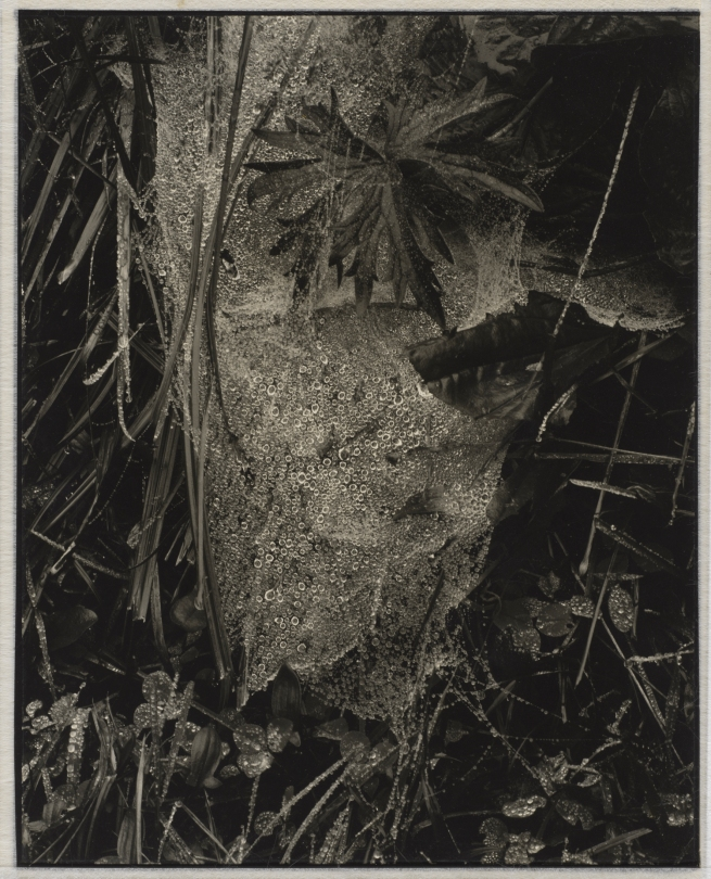 Paul Strand. 'Cobweb in Rain, Georgetown, Maine' 1927