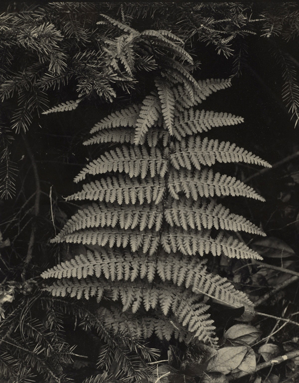 Paul Strand. 'Fern, Georgetown, Maine' 1928