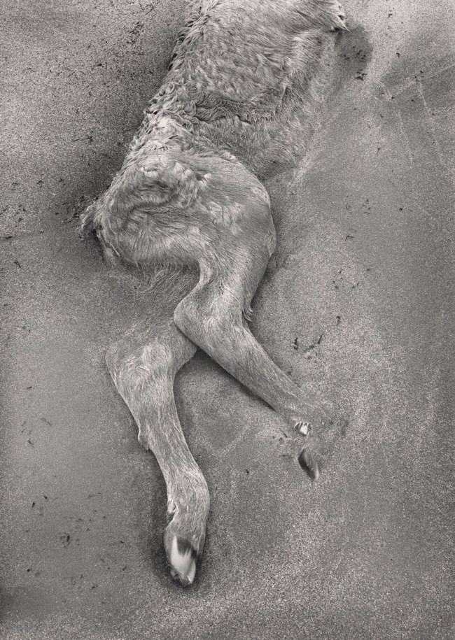 Paul Caponigro (b. 1932) 'Dead Calf in the Sand, County Kerry, Ireland' 1993