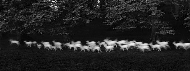 Paul Caponigro (b. 1932) 'Running White Deer, Wicklow, Ireland' 1967