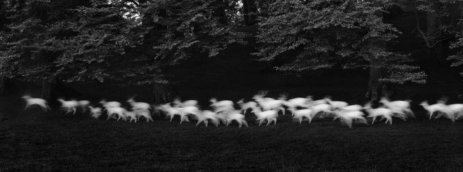 Paul Caponigro (b. 1932) 'Running White Deer, Wicklow, Ireland' 1967