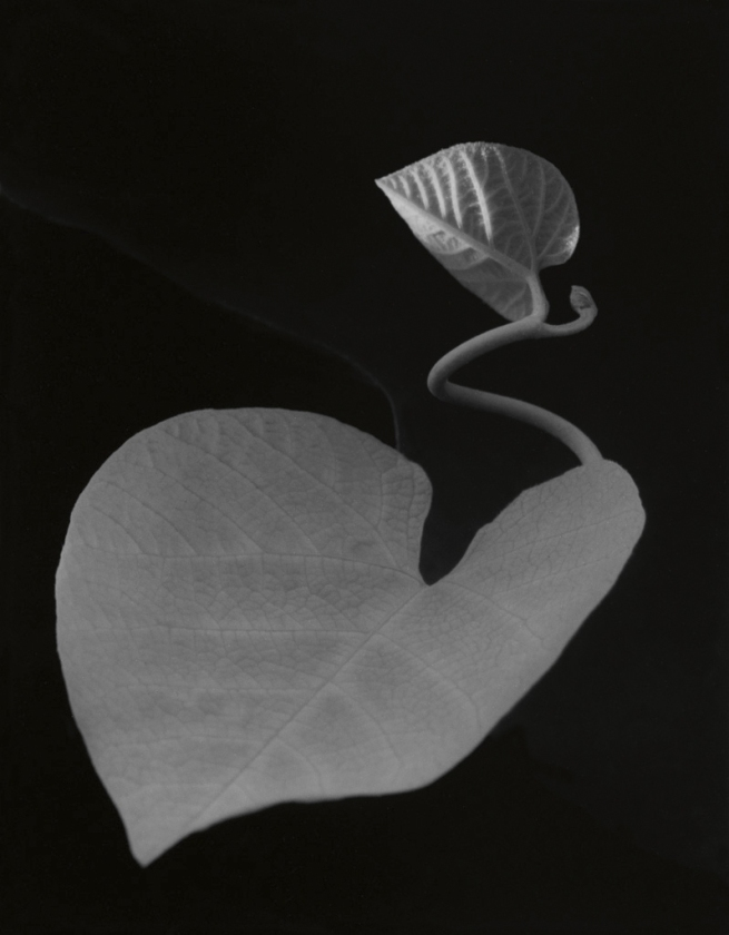 Paul Caponigro (1932- ) 'Two Leaves, Brewster, New York' 1963