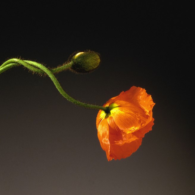 Robert Mapplethorpe. 'Poppy' 1988