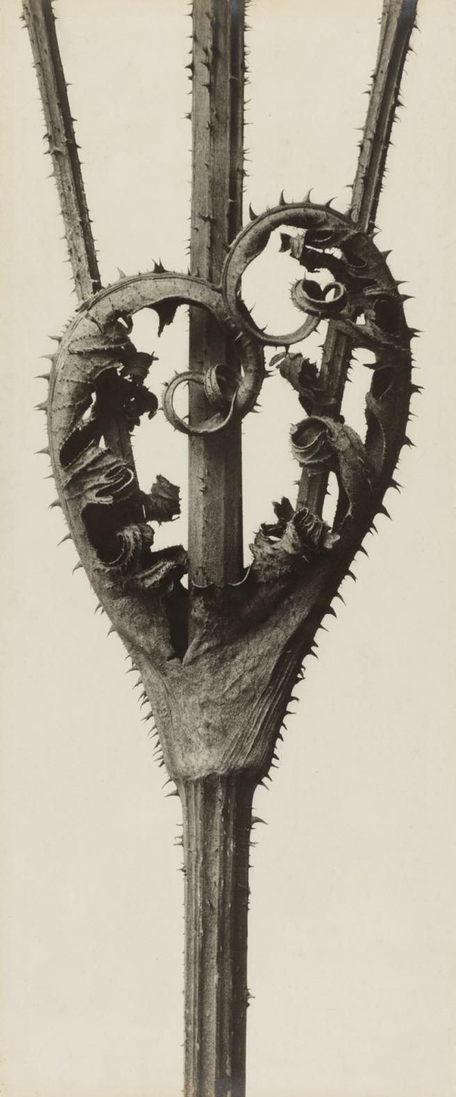 Karl Blossfeldt. 'Dipsacus laciniatus. Cutleaf Teasel' before 1927